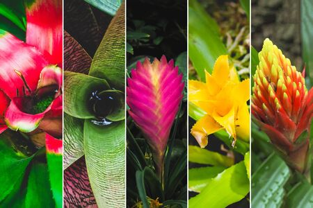 Collage from different pictures of flowers bromeliads. Floral background of blooming bromeliads.