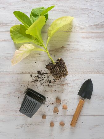Cultivation of tobacco, tobacco seedlings on a wooden table. Stok Fotoğraf