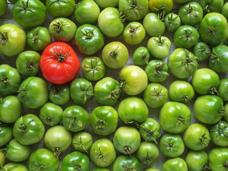 One red tomato among many green unripe ones.