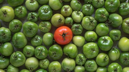 One red tomato among many green unripe ones. Top view Stok Fotoğraf
