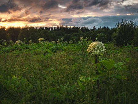 Hogweed grows in the evening field. Evening landscape with a field. Stok Fotoğraf