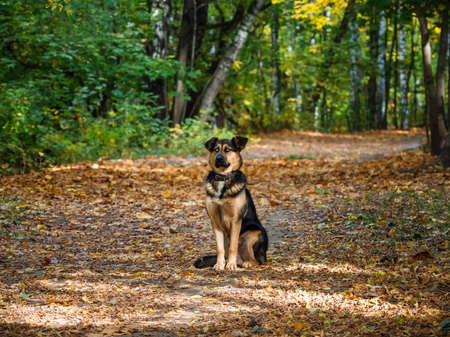 Dog in the autumn forest. Sheepdog sits on an alley in the autumn forest. Standard-Bild - 157291224