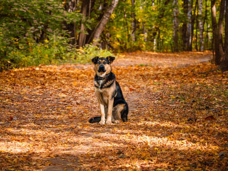 Sheepdog sits on an alley in the autumn forest. Standard-Bild