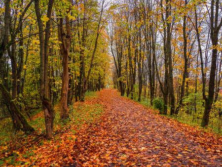Bright autumn. Maple alley with fallen leaves Standard-Bild