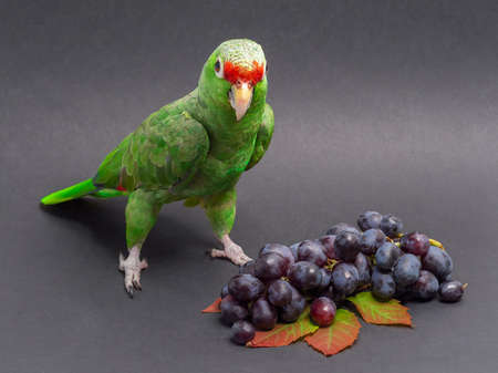 Large green parrot poses next to a bunch of red grapes on a dark background. Standard-Bild
