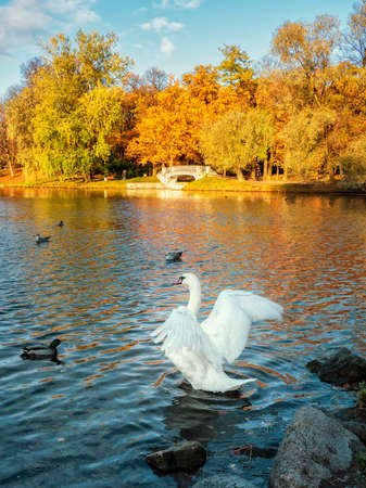 White swan flaps its wings in an autumn park Standard-Bild - 157645475