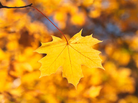 Yellow maple leaf on a bright natural sunny background 版權商用圖片
