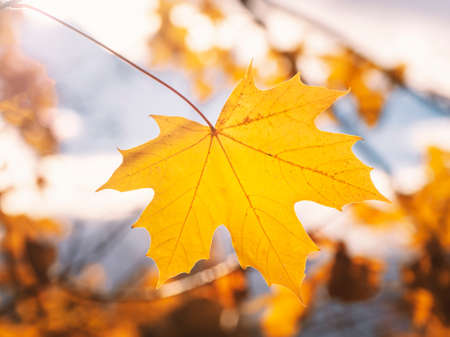 Yellow maple leaf on a bright natural sunny background.