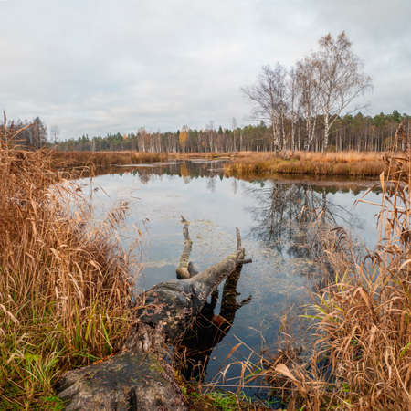 Swamp in the North in autumn. A tree felled by beavers in the water 版權商用圖片
