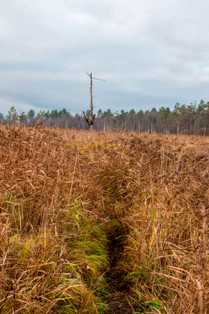 A path through the yellow grass to a lone tree burned by lightning. Swamp in the North in autumn. 版權商用圖片