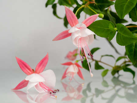 Beautiful bunch of a blooming pink and white fuchsia flowers over natural gray background. Flower background with copy space. Soft focus 版權商用圖片