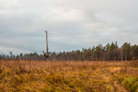 A lone tree burned by lightning in a swamp. Swamp in the North in autumn
