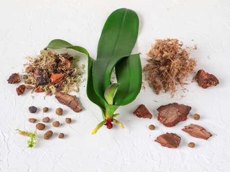 Resuscitation of orchids. Growing roots in orchids.