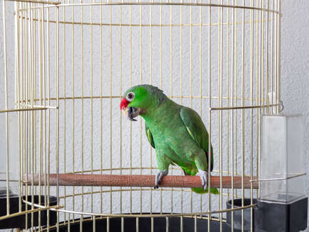 A large green parrot sits on a perch in a cage. The interested, sly look of a parrot.