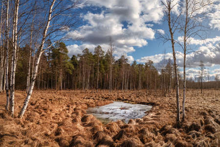 Panoramic spring landscape with birch trees and a large frozen puddle in the swamp.