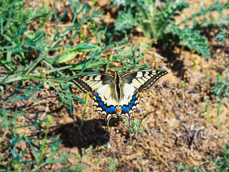 A swallowtail butterfly in flight over the surface of the earth. A dynamic moment. Close up.