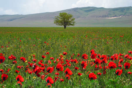 lonely tree in a poppy field in the spring