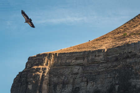 A flying eagle over a rocky cliff. Griffon Vulture Gyps fulvus flying on the sky over the mountains. Dagestan.