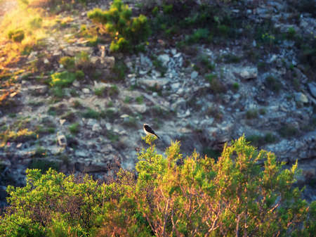 The variable wheatear is a species of bird in the family Muscicapidae.