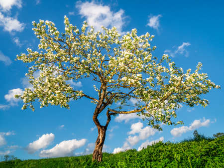 Blooming apple tree on a blue sky background. Natural spring background.
