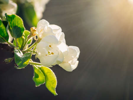 Soft focus. Blooming branch of an apple tree in the sunlight on a dark background. Close-up. Фото со стока