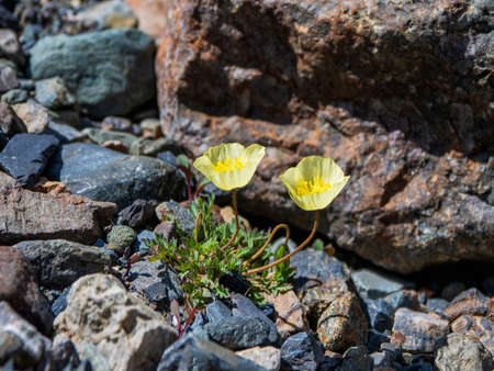 Two yellow mountain poppies, top view. Lush yellow poppy flowers bushes. Close-up. Stock Photo