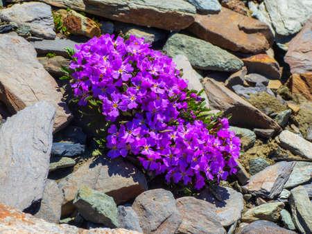 Purple mountain flowers background. Bush Aubrieta plant with purple small blossom grow in stone garden