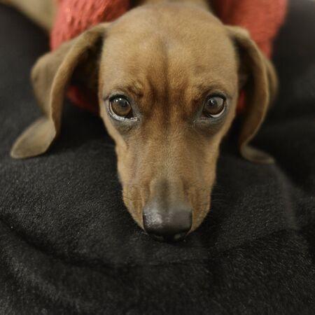 breed: dog breed dachshund