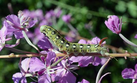 angustifolium: caterpillar Hyles gallii. Chamerion angustifolium. Stock Photo
