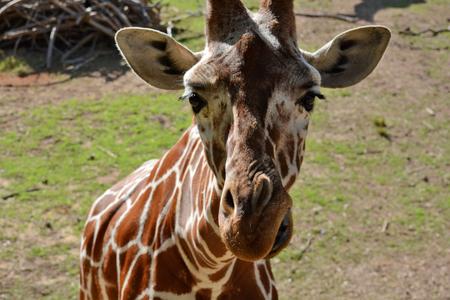zoological: giraffe. Zoological Center of Tel Aviv-Ramat Gan. Israel.