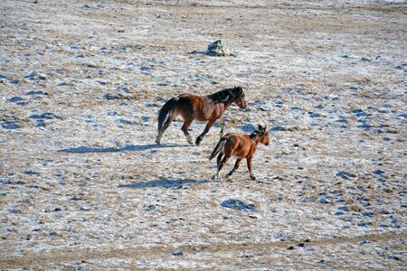 altay: Altay horse