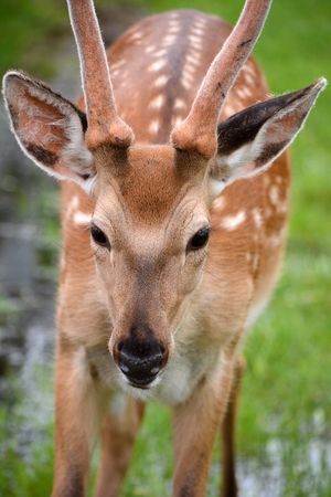 dappled: dappled deer
