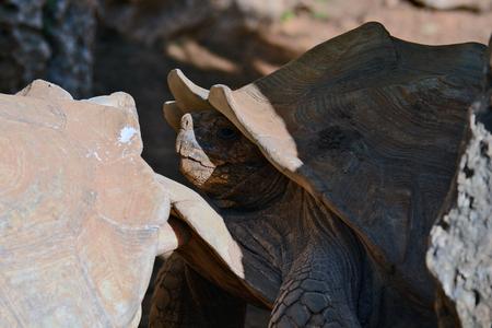 sulcata: Geochelone sulcata  in the Zoological Center of Tel Aviv-Ramat Gan, Israel