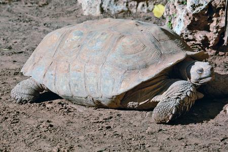zoological: Geochelone sulcata  in the Zoological Center of Tel Aviv-Ramat Gan, Israel