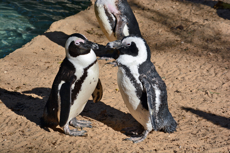 zoological: African Penguin in the Zoological Center of Tel Aviv-Ramat Gan, Israel