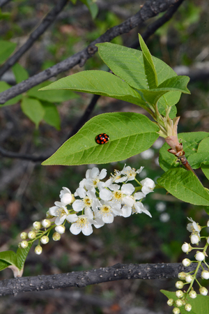 fruition: Flowers bird cherry Stock Photo