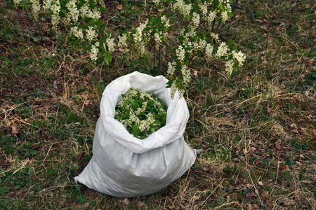 fruition: Flowers bird cherry in the bag, preparation of a medicinal plant and flower tea