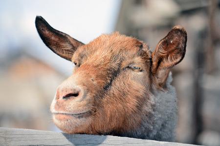 cabra: hocico de cabra Foto de archivo