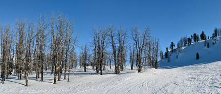Dry trees on the ski slopes in winter - panorama