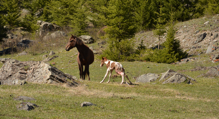 The birth of a stallion in a horse in a natural habitat. The Altai Mountains. Stock Photo
