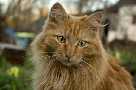 Portrait of a red cat with long hair on a natural background