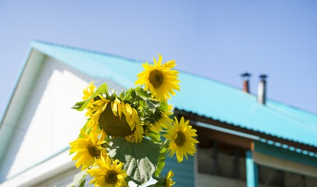 Sunny sunflowers in front of the house, colorful rural summer background. Panorama big size.