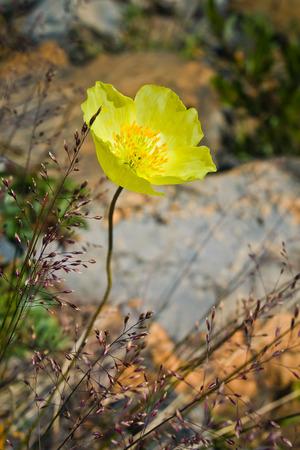 Beautifull  yellow mountain flower in the Altaj mountains Reklamní fotografie - 97016991