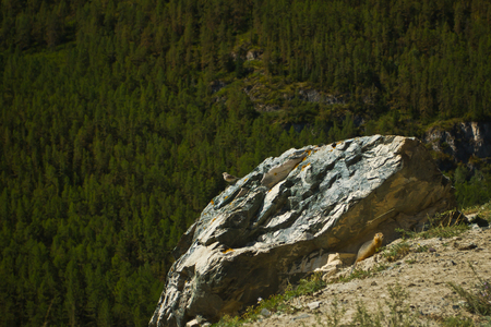 View to mountains, forest and bird  on the stone and marmot  in Altaj, Russia  at the summer