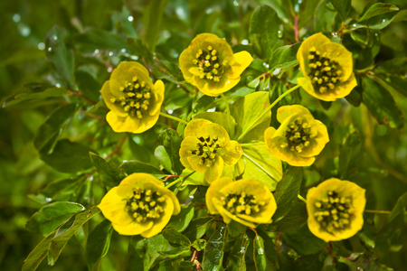 Beautifull  yellow mountain flowers in the Altaj mountains