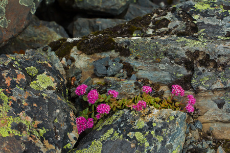 Beautifull  purple mountain flowers in the Altaj mountains