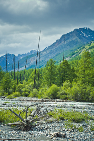 Beautifull  valley with view to snow mountains, forest and river and dry tree in it in Altaj, Russia  at the summer