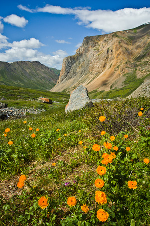 Beautifull wild  orange flowers with view to mountains in the Altaj