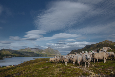 Sheeps with view from hill to the lake and green mountains in the Norway at summer time