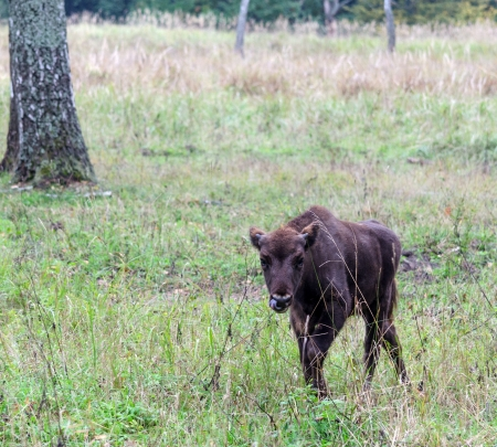 European bison s calf in the national park photo